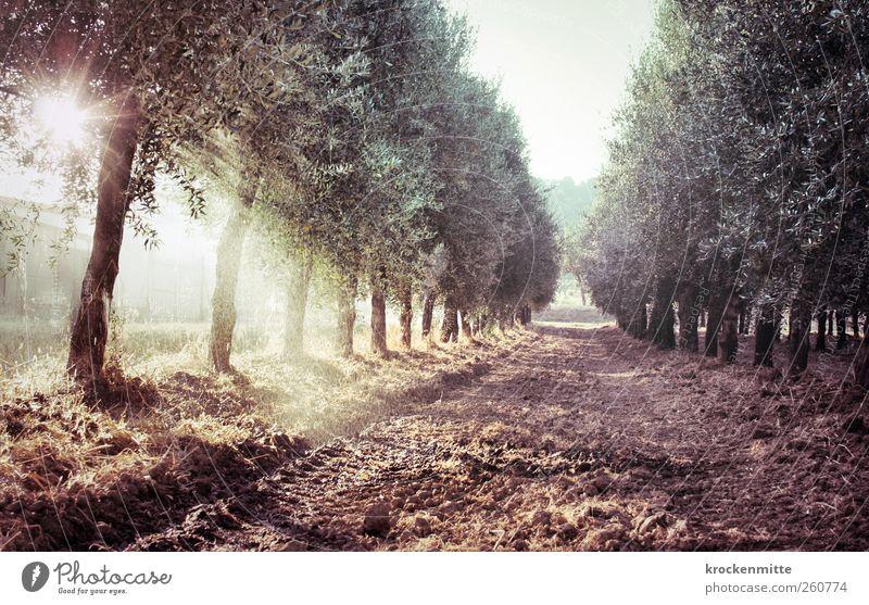olio di oliva II Beregnungsanlage Sprinkleranlage Natur Landschaft Pflanze Erde Wasser Wassertropfen Sonne Sommer Baum Oliven Olivenbaum Olivenhain Olivenöl