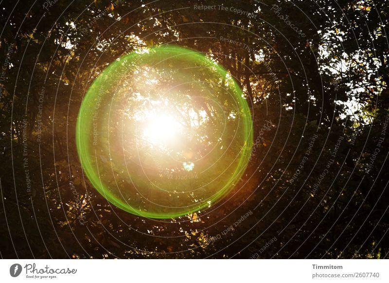Herbstsonne Umwelt Natur Pflanze Sonne Schönes Wetter Baum Wald leuchten braun gold grün Gefühle Lebensfreude Halo Farbfoto Außenaufnahme Menschenleer Abend