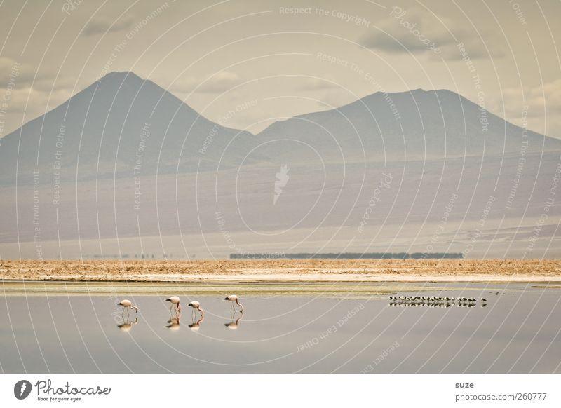 Stiller See Sommer Berge u. Gebirge Umwelt Natur Landschaft Urelemente Erde Himmel Klima Schönes Wetter Seeufer Wüste Oase Wildtier Vogel Flamingo Tiergruppe