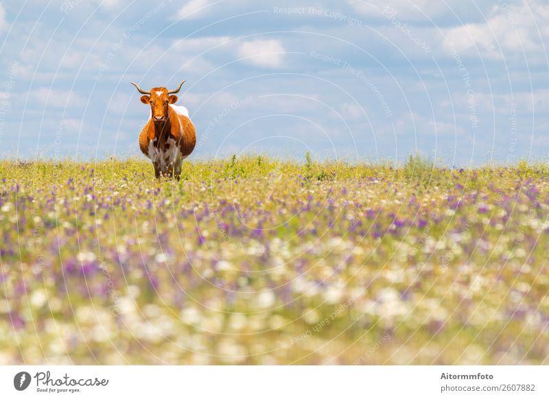 Kuh mit Hörnern im Sommerfeld mit Blumen schön Kultur Umwelt Natur Landschaft Tier Himmel Gras Wiese Dorf Fressen natürlich grün Ackerbau bovin züchten Rind