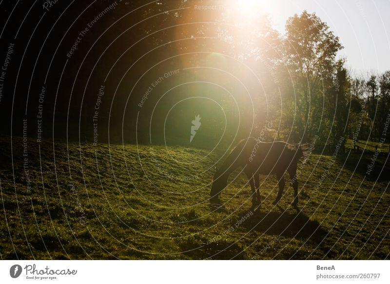 Pferd Natur grün schön Sommer Pflanze Sonne Tier ruhig Erholung Landschaft gelb Umwelt Wiese Frühling Erde natürlich