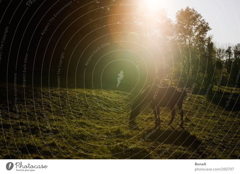 Pferd Reiten Natur Landschaft Pflanze Tier Erde Sonnenaufgang Sonnenuntergang Sonnenlicht Frühling Sommer Schönes Wetter Wiese Nutztier 1 Erholung Fressen