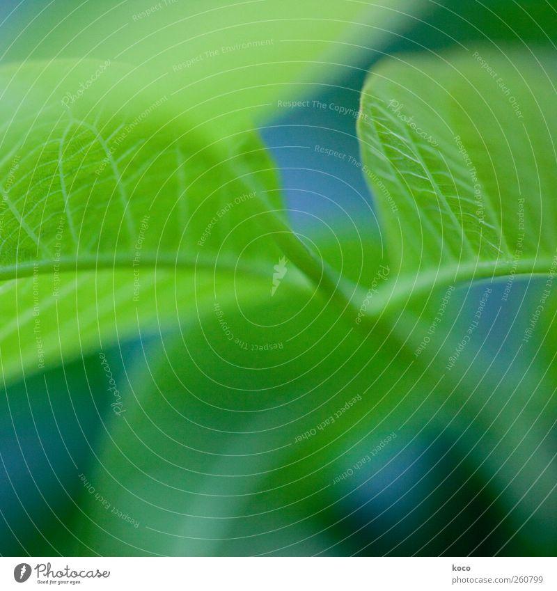 Wär ich ein Blatt an einem Baum ... Natur Pflanze Frühling Sommer Grünpflanze Wachstum ästhetisch authentisch frisch schön blau grün schwarz Lebensfreude