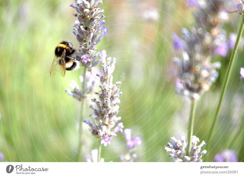 Biohubschrauber Natur Blume Sommer Wiese klein nah Flügel rechnen Hummel Brummen