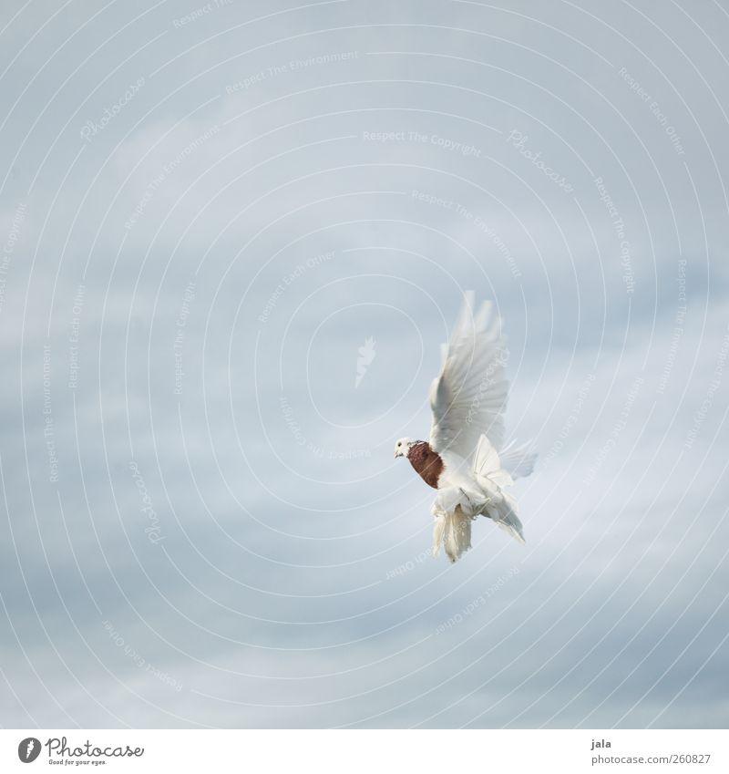 dove Himmel Wolken Tier Vogel fliegen Flügel Taube Aggression