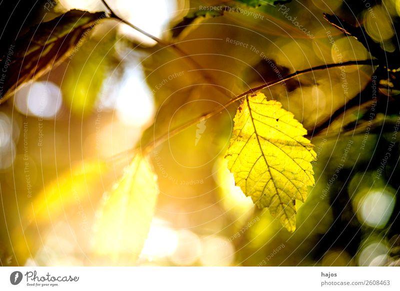 Buche, Blatt im Gegenlicht im Herbst Natur Farbe Baum