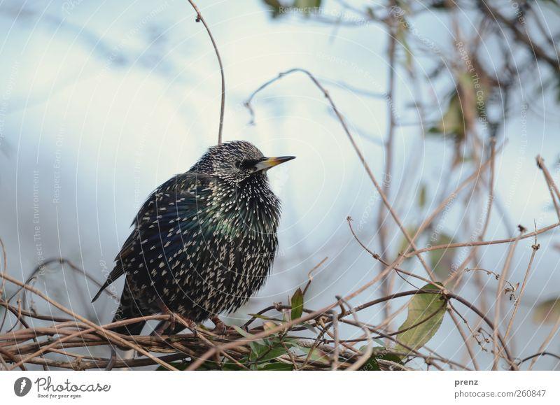 star Umwelt Natur Pflanze Tier Sträucher Wildpflanze Wildtier Vogel 1 blau schwarz Star Singvögel gefiedert Farbfoto Außenaufnahme Menschenleer