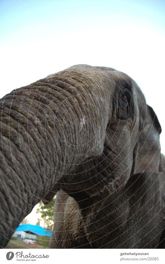 Jumbo Himmel grau Traurigkeit groß Trauer Ohr Frieden nah Indien sanft gefangen Tier Zirkus Elefant Rüssel