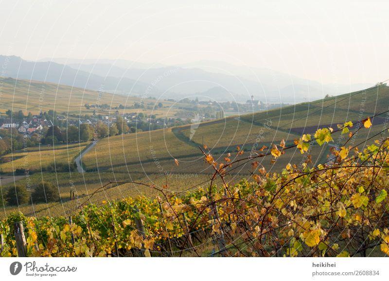 Herbst in Baden Ferien & Urlaub & Reisen Tourismus Ausflug Ferne Freiheit Natur Landschaft Pflanze Feld natürlich gelb gold grün Wein Spaziergang Vogesen