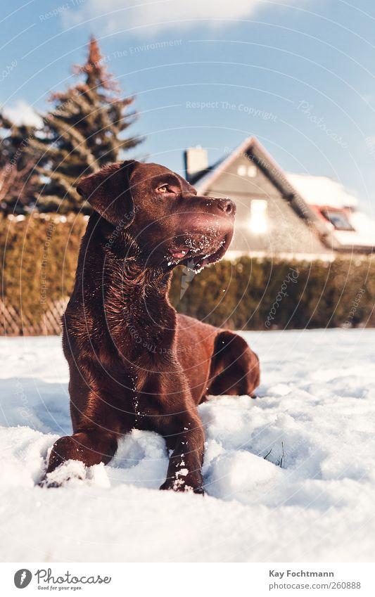 ... Glück Freizeit & Hobby Wohnung Haus Garten Schönes Wetter Schnee Baum Hecke Fenster Dach Haustier Hund Labrador 1 Tier beobachten liegen Blick warten
