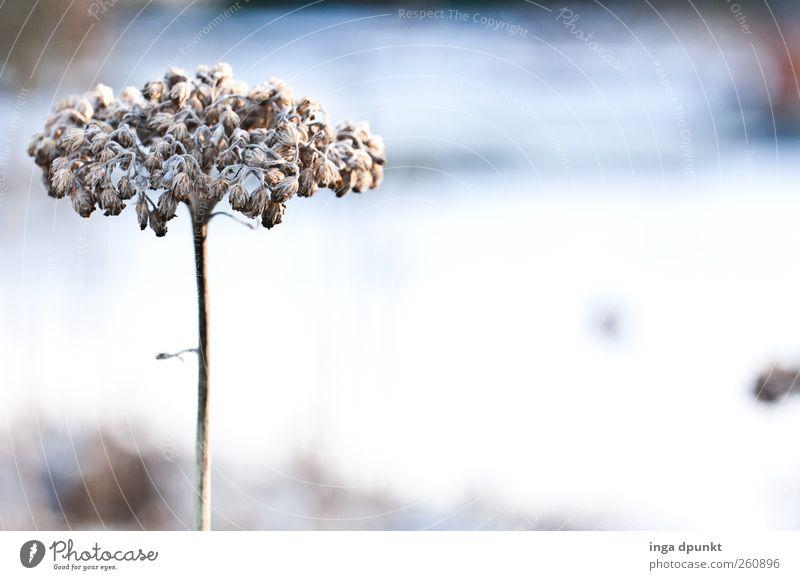 Stil Natur blau weiß Pflanze Winter Blume Einsamkeit Umwelt kalt Blüte Eis trist Frost Trauer Urelemente Vergänglichkeit