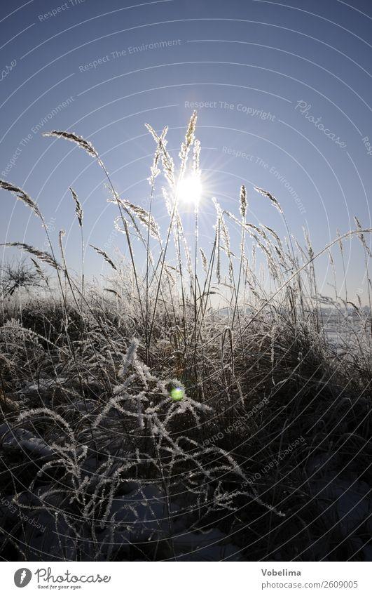 Gräser im Winter mit Sonne Natur Landschaft Eis Frost Pflanze Gras Feld kalt blau grau weiß schnee himmel Farbfoto Außenaufnahme Menschenleer Textfreiraum oben
