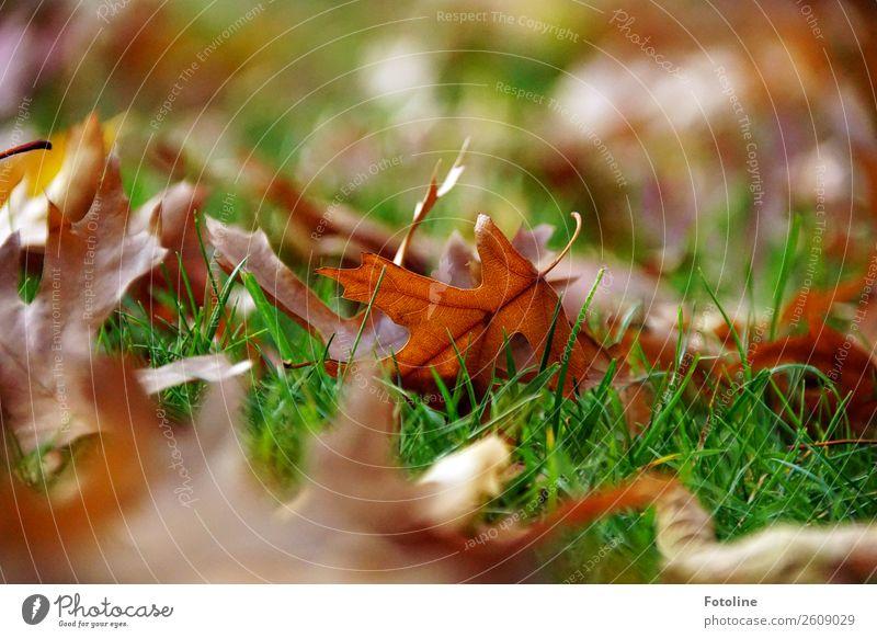 herbstlich Umwelt Natur Pflanze Herbst Schönes Wetter Gras Blatt Wiese hell nah natürlich Wärme braun grün Herbstlaub Herbstfärbung Farbfoto mehrfarbig