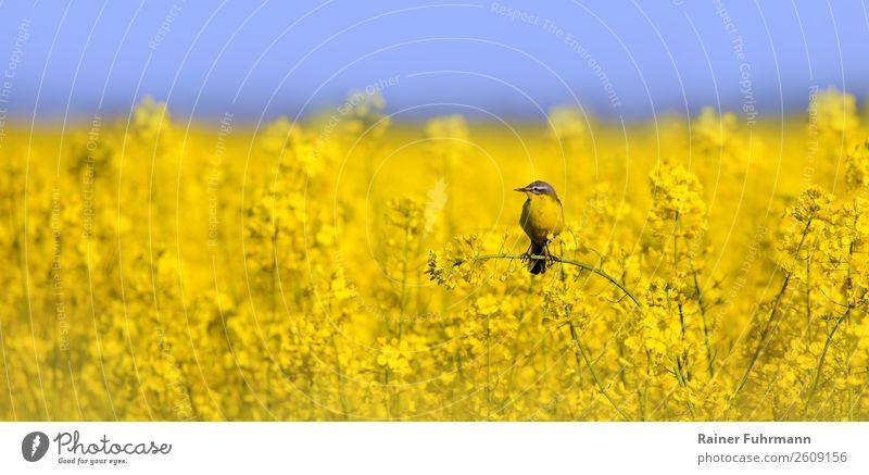 eine Schafstelze sitzt in einem Rapsfeld Nutzpflanze Feld Tier Wildtier 1 Natur Farbfoto Außenaufnahme Textfreiraum links Textfreiraum rechts Textfreiraum oben
