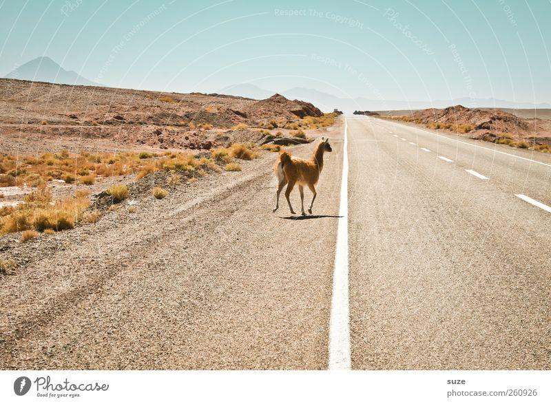 Nu aber zackig, nicht so lama Himmel Natur Landschaft Tier Umwelt Straße Horizont wild Wildtier Klima Verkehr Schönes Wetter gefährlich Urelemente Ziel Asphalt