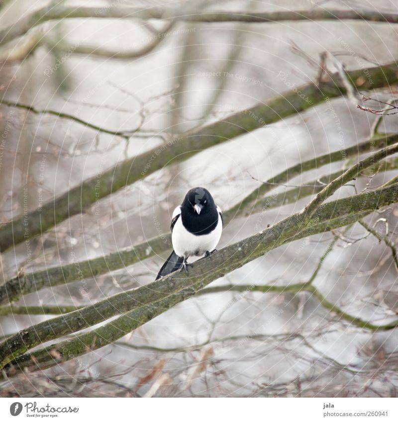 elster Umwelt Natur Pflanze Tier Baum Wildpflanze Wildtier Vogel Elster 1 sitzen Farbfoto Außenaufnahme Menschenleer Tag Schwache Tiefenschärfe