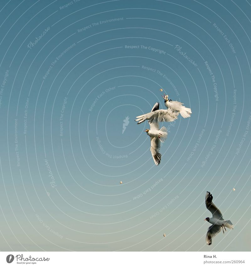 Luftkampf Himmel nur Himmel Sommer Schönes Wetter Vogel Möve 3 Tier fliegen Fressen füttern kämpfen hell blau Mut Aggression anstrengen Überleben Kampfsport