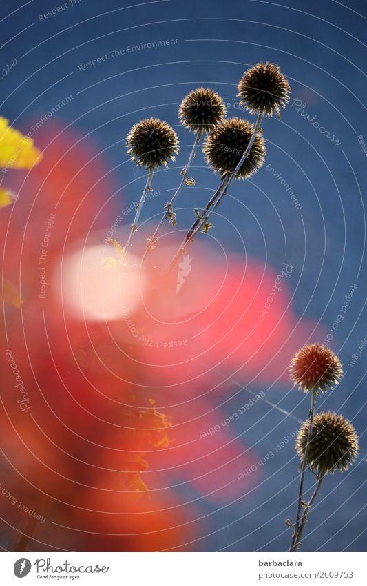 sti(e)lvolle Naturkunst Pflanze Himmel Herbst Schönes Wetter Sträucher Blatt Garten leuchten exotisch blau rot Stimmung ästhetisch Farbe Klima Stil Wachstum