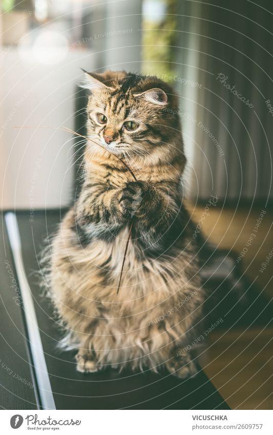 Lustige Katze sitzend auf Hinterbeinen Tier Freude Lifestyle lustig Spielen Häusliches Leben Design Wohnung Pfote Nutztier Katzenauge haltend spielend
