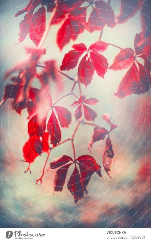 Rote Herbst Blätter von Wilde Weinrebe Lifestyle Garten Natur Pflanze Park Design Hintergrundbild Wilder Wein hängend rot Blatt Farbfoto Außenaufnahme