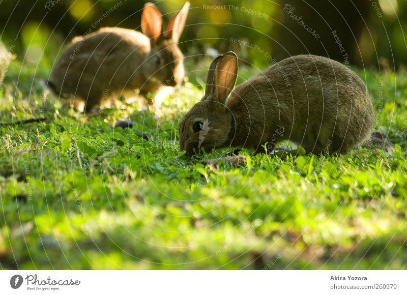 Gemeinsame Rasenpflege II Natur Sonnenlicht Frühling Sommer Schönes Wetter Wiese Tier Haustier Nutztier Hase & Kaninchen 2 Fressen frei braun gelb grün Farbfoto