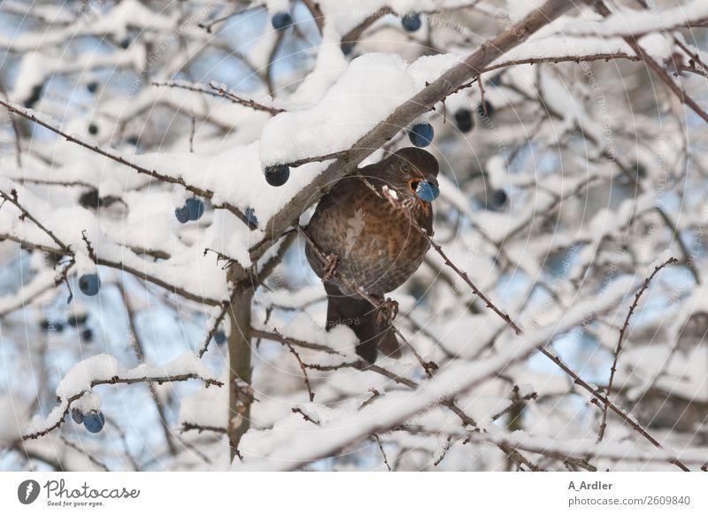 Amsel im Schnee Wildtier Vogel 1 Tier blau braun weiß Ast Baum Vogelbeeren Schneefall Schneelandschaft Farbfoto Außenaufnahme Tag Blick in die Kamera