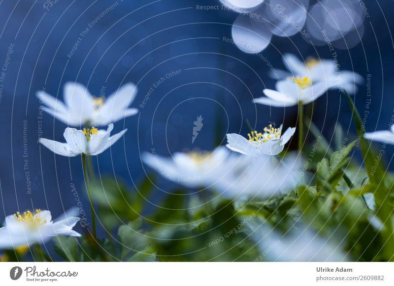 Buschwindröschen Natur Pflanze blau weiß Blume Erholung ruhig Wald Leben Blüte Frühling Feste & Feiern Zufriedenheit Dekoration & Verzierung Geburtstag Hochzeit