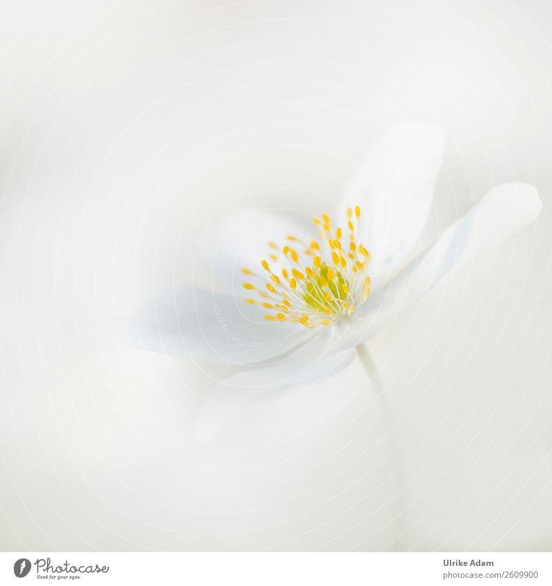 Ganz in Weiß Natur Pflanze Farbe weiß Blume gelb Liebe Blüte Frühling Stil Design Dekoration & Verzierung elegant Geburtstag Blühend Romantik
