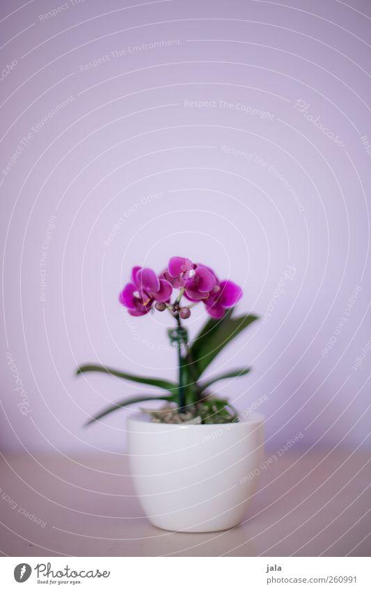 orchidee Pflanze Blume Orchidee Blatt Blüte Topfpflanze exotisch ästhetisch elegant schön grün violett weiß Farbfoto Innenaufnahme Menschenleer