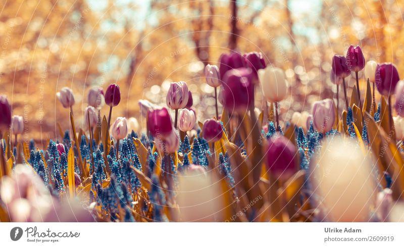 Zauber des Frühlings Feste & Feiern Ostern Natur Pflanze Blume Tulpe Blüte Traubenhyazinthe Garten Niederlande Blühend außergewöhnlich frisch blau violett rosa