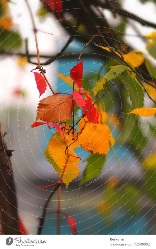 Colorful beech foliage Natur Landschaft Herbst Baum Leben Sinnesorgane Ferien & Urlaub & Reisen Buche Buchenblatt Blatt blau gelb rot grün türkis Zweig