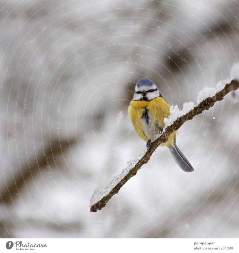 Blaum(eis)e Natur blau Winter Tier gelb kalt Schnee Schneefall Vogel Eis sitzen Wildtier Frost Feder Ast Tiergesicht