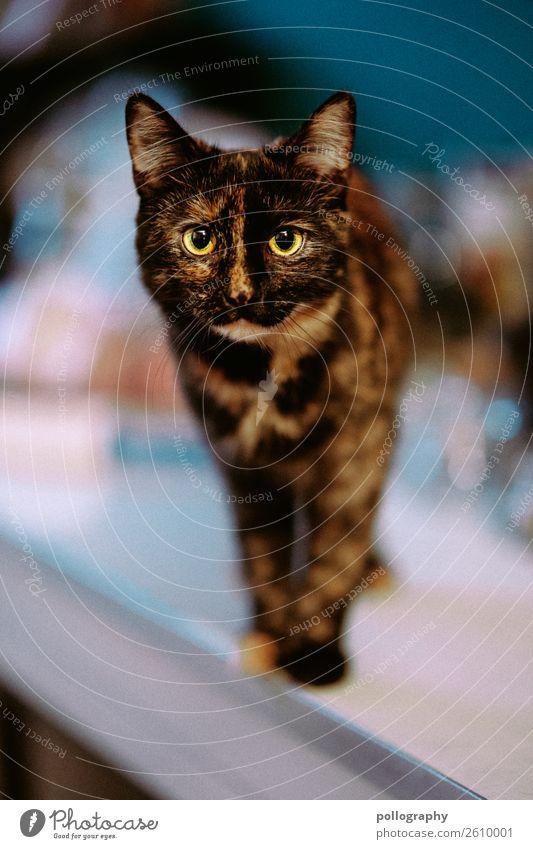 Katze Haustier Tiergesicht 1 stehen weich Farbfoto Innenaufnahme Blick in die Kamera
