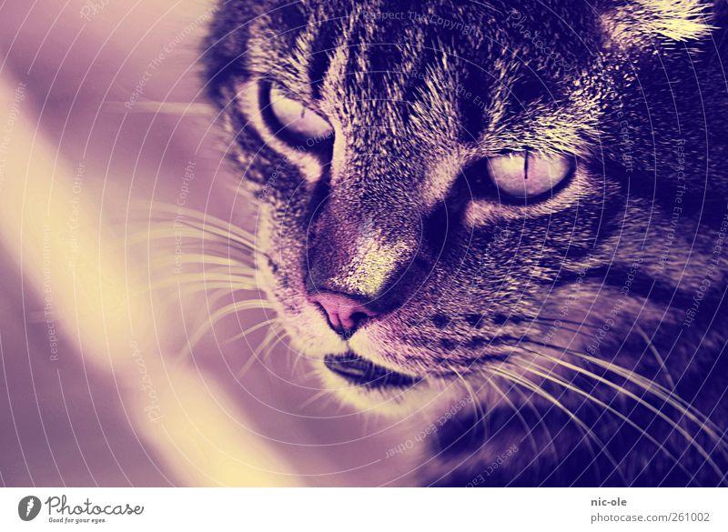 Chucky Tier Haustier Katze Tiergesicht 1 niedlich Gefühle Stimmung Willensstärke geduldig ruhig Farbfoto Außenaufnahme Nahaufnahme Menschenleer