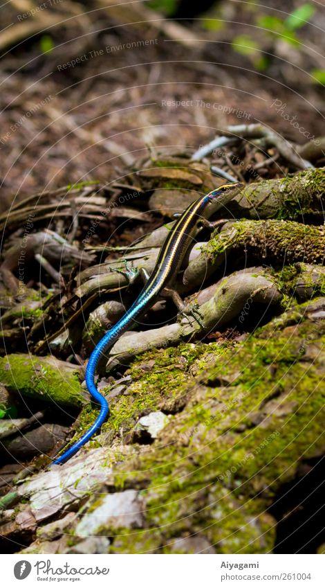 Blauschwanz-Skink Natur Moos Wurzel Wald Tier Wildtier Schuppen Echte Eidechsen 1 krabbeln blau grün Farbfoto Außenaufnahme Makroaufnahme Menschenleer Morgen