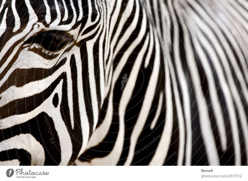 Zebra Ferien & Urlaub & Reisen Tourismus Zoo Fell Kopf Hals Tierhaut Auge Muster exotisch wild weich schwarz weiß Umwelt Safari Kontrast Streifen parallel
