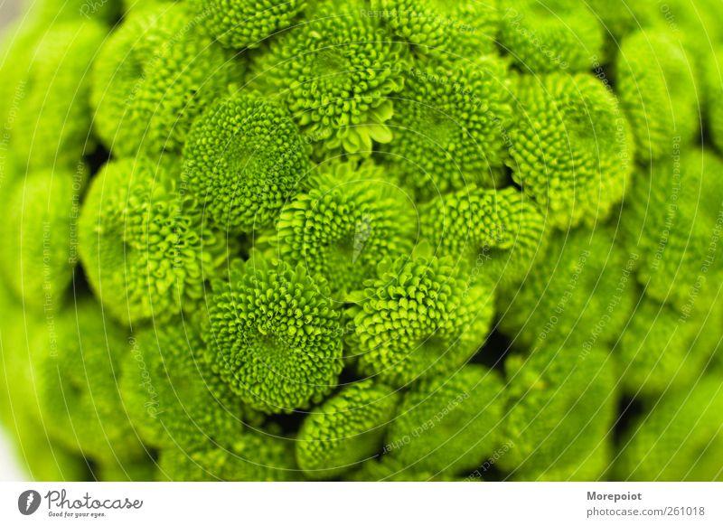 grün Pflanze Blume Blatt Blüte frisch Grünpflanze Frühlingsgefühle
