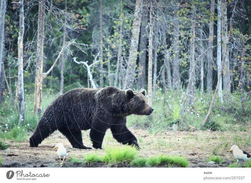 Bibabutzebär Natur grün Landschaft Tier Wald Umwelt Wiese braun Angst wild Wildtier authentisch bedrohlich Kraft beobachten Neugier