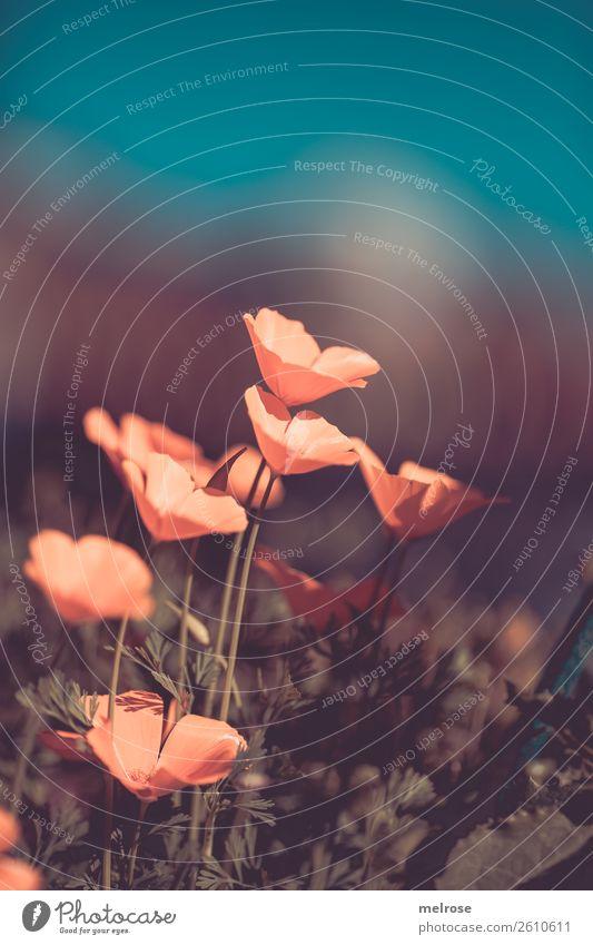 Mohn lachs mit türkisem Hintergrund Umwelt Natur Sonnenlicht Herbst Schönes Wetter Pflanze Blume Sträucher Blüte Wildpflanze Mohnblüte Blütenstauden