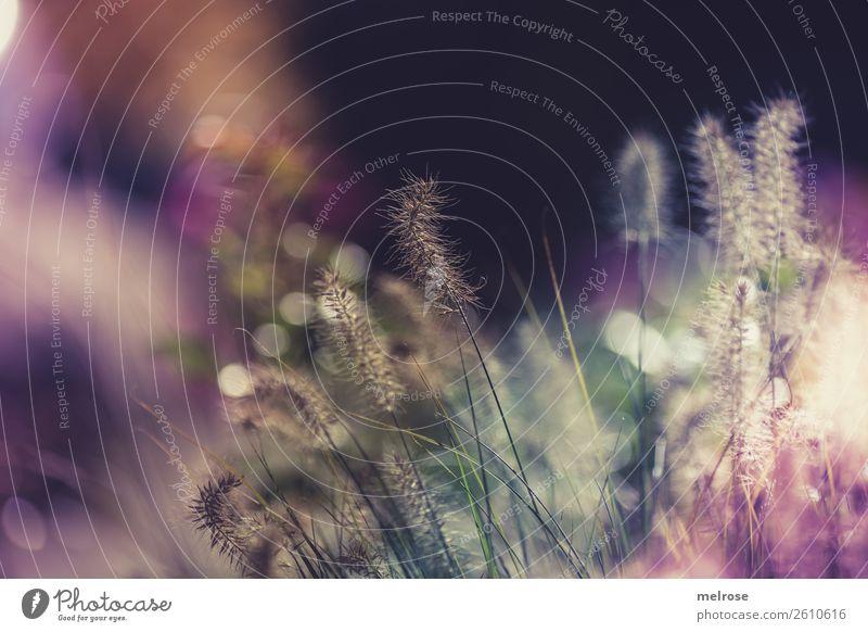 Blühende Gräser mit Bokeh Umwelt Natur Sonnenlicht Schönes Wetter Pflanze Gras Sträucher Blüte Wildpflanze Gräserblüte Garten Unschärfe Farbfleck Lichtschein