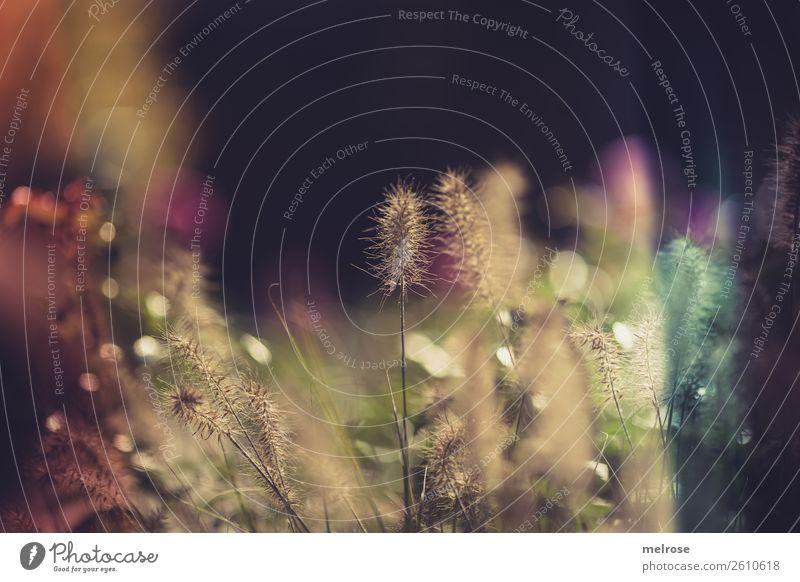 Blühende Gräser mit Bokeh Umwelt Natur Sonnenlicht Herbst Schönes Wetter Pflanze Gras Sträucher Blüte Wildpflanze Gräserblüte Garten Unschärfe golden hour