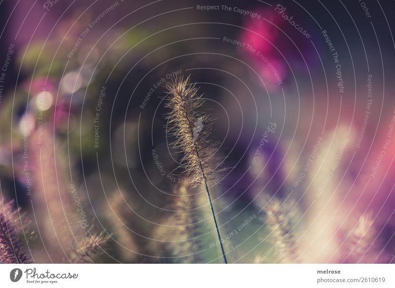 Blühende Gräser mit Bokeh Umwelt Natur Sonnenlicht Herbst Schönes Wetter Pflanze Gras Sträucher Blüte Wildpflanze Gräserblüte Garten Farbfleck Unschärfe