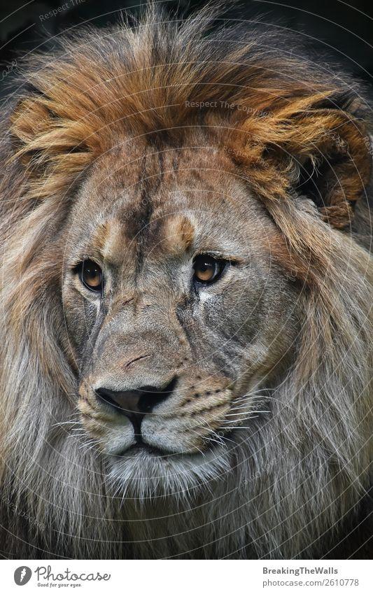 Nahaufnahme Frontporträt des männlichen afrikanischen Löwen Tier Wildtier Tiergesicht Zoo 1 wild Löwenmähne Kopf Auge Schnauze Angesicht zu Angesicht Tierwelt
