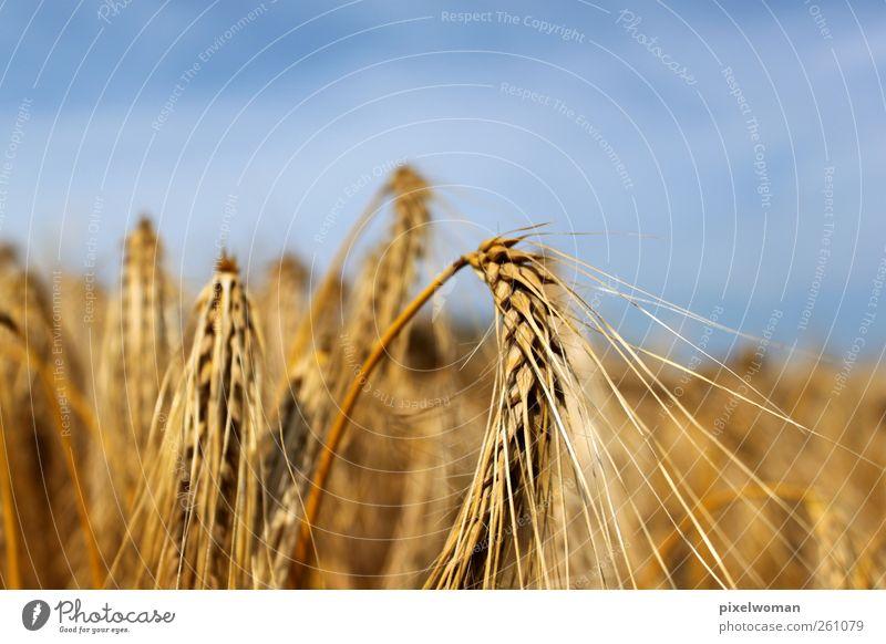 Korn Natur Landschaft Himmel Wolken Horizont Sonne Sonnenlicht Sommer Herbst Schönes Wetter Wind Wärme Nutzpflanze Feld Duft Einsamkeit Farbe genießen Reichtum