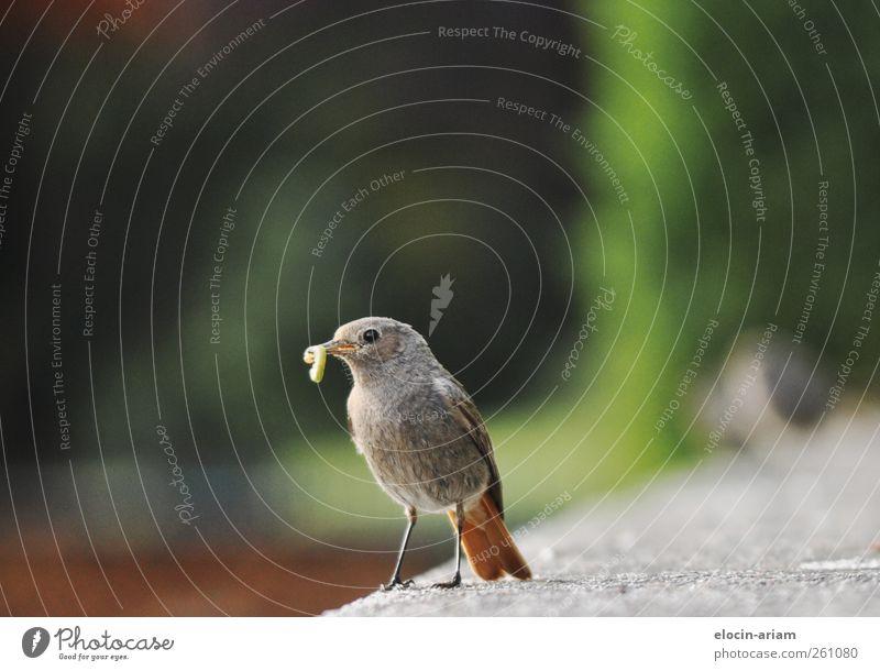 (Raub)Tierfütterung Natur Vogel 1 Fressen füttern lecker niedlich grün Tierliebe Appetit & Hunger Wurm Mauer Farbfoto Nahaufnahme Textfreiraum oben