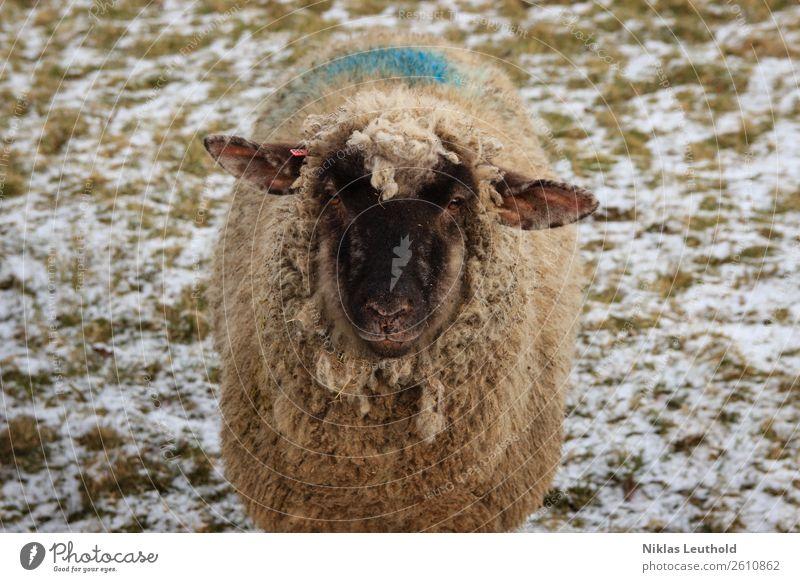 Schaf auf Wiese mit Schnee Umwelt Sonnenlicht Winter Eis Frost Gras Grünpflanze Tier Nutztier Tiergesicht Fell 1 dick dreckig Freundlichkeit blau grün schwarz