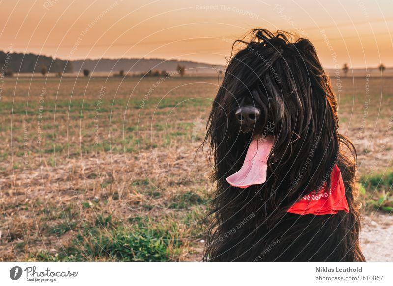 Wuschelkopf Landschaft Wolkenloser Himmel Sonnenaufgang Sonnenuntergang Sonnenlicht Herbst Schönes Wetter Gras Grünpflanze Feld Tier Haustier Hund Tiergesicht