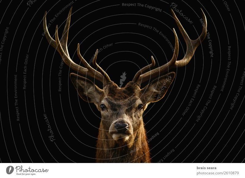 Rotwild-Porträt auf schwarzem Hintergrund. Fleisch elegant Stil Design exotisch Jagd Safari Dekoration & Verzierung maskulin Kunst Umwelt Natur Landschaft Tier