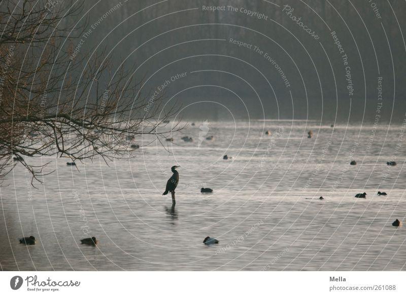Freitagmorgen Umwelt Natur Landschaft Tier Wasser Baum Ast Teich See Vogel Kormoran Blesshühner hocken sitzen frei natürlich Freiheit Zufriedenheit Pause