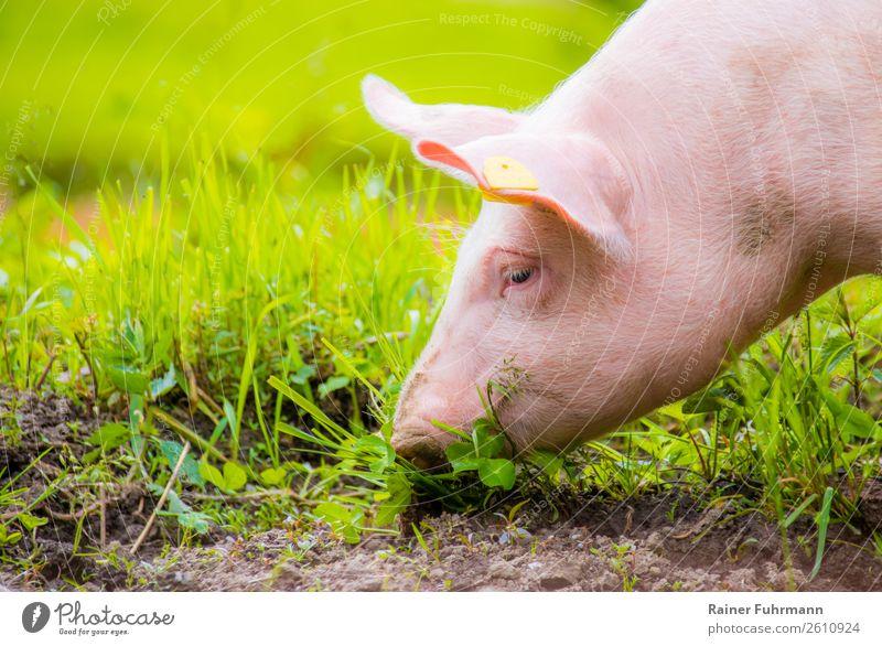 Porträt eines Hausschweines auf grüner Wiese Tier Haustier 1 Tierjunges Fressen dick Gesundheit nachhaltig natürlich Glück Tierliebe Farbfoto Außenaufnahme